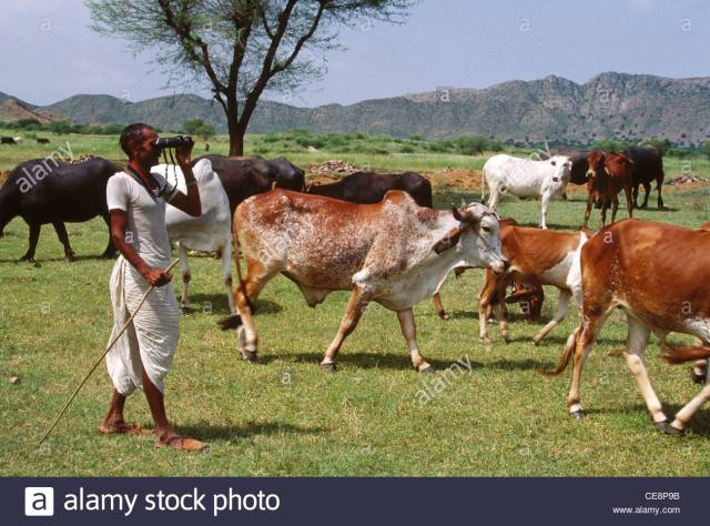 cattle-grazing-indian-shepherd-looking-through-binocular-rajasthan-ce8p9b