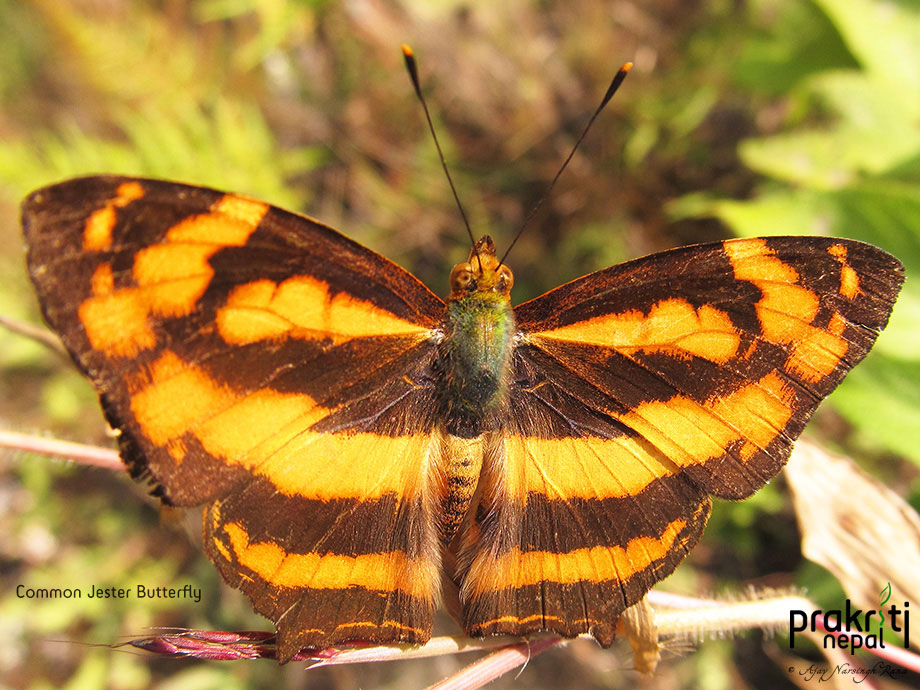 Common Jester -Butterfly