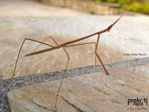 Indian Grass Mantis