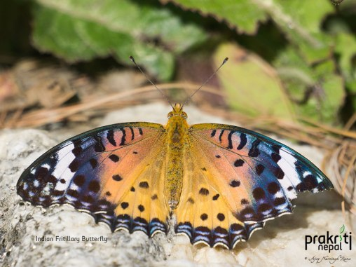Indian fritillary butterfly