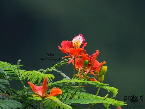 The Flamboyant aka Poinciana