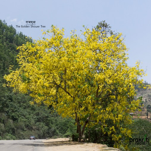 The Golden Shower Tree