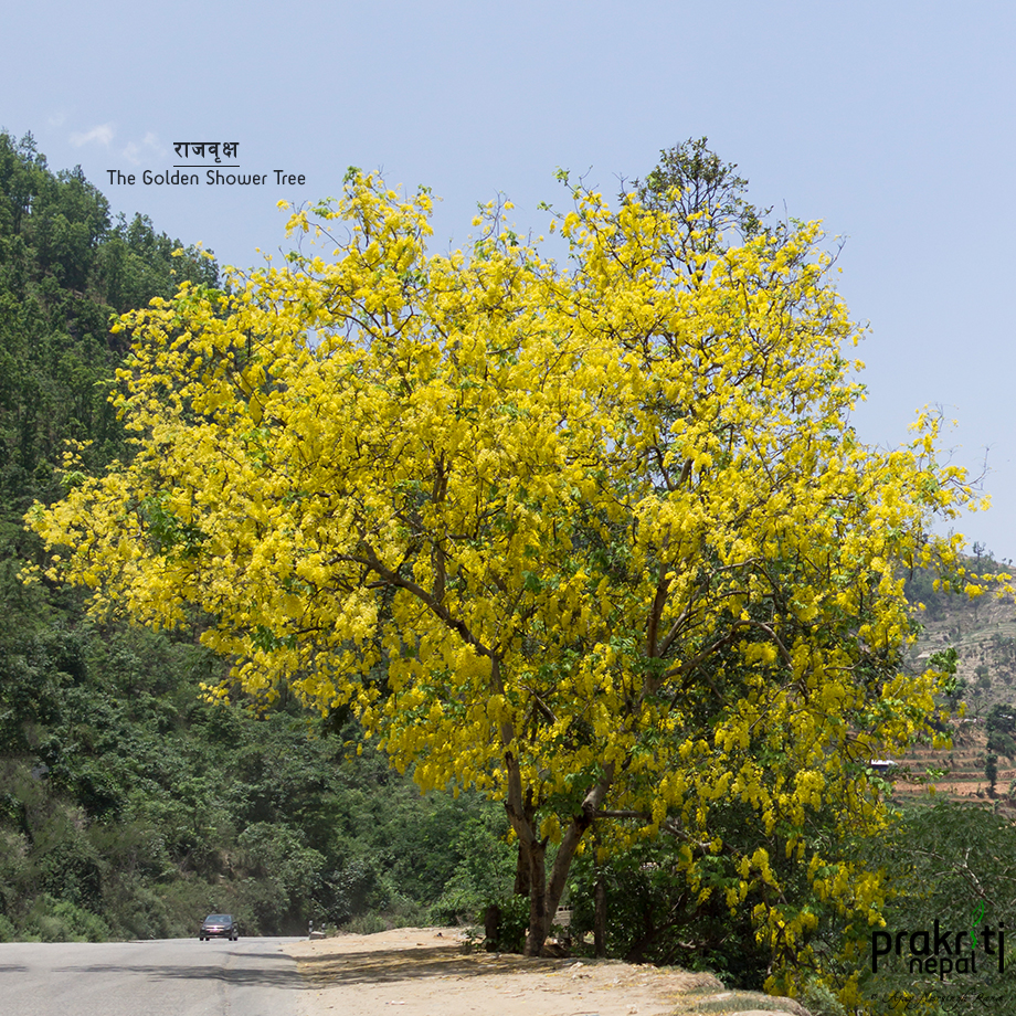 The Golden Shower Tree