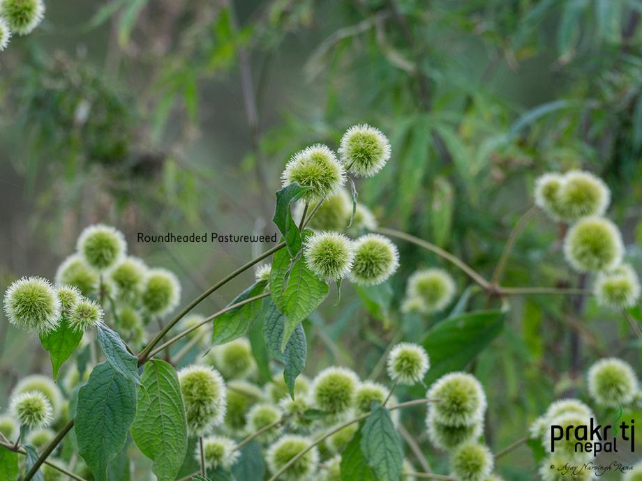 Roundhead Pastureweed
