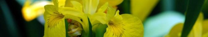 yellow iris upclose