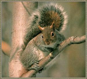 EasternGraySquirrel2