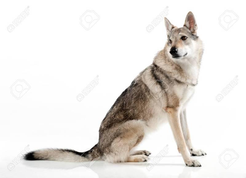 Large Of German Shepherd Wolf Hybrid