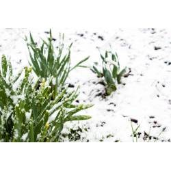 Small Crop Of Snow In Summer Plant