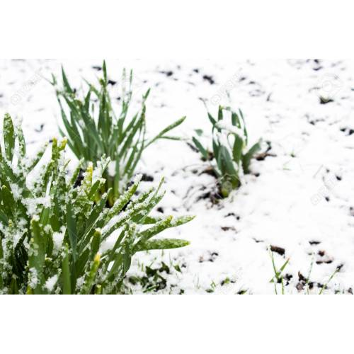 Medium Crop Of Snow In Summer Plant
