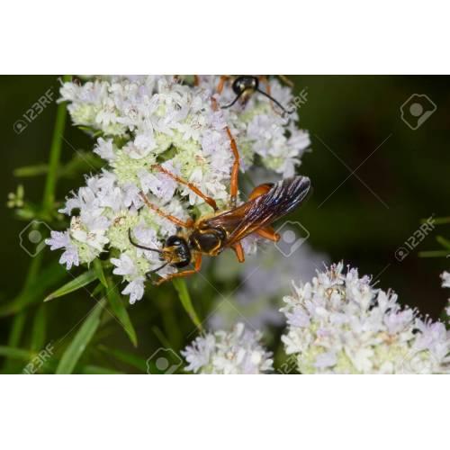 Medium Crop Of Great Golden Digger Wasp