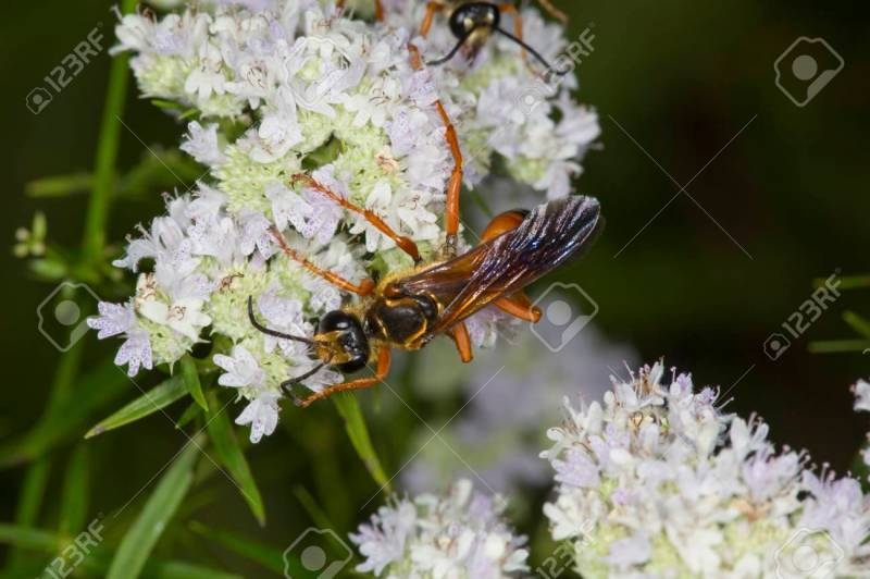 Large Of Great Golden Digger Wasp