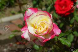 Small Of Double Delight Rose