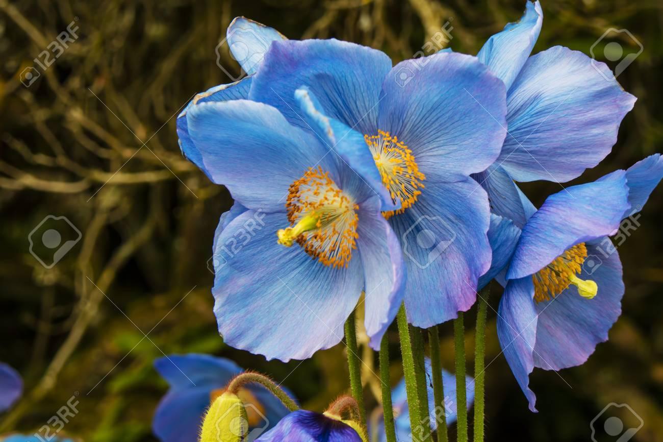 Pool saatchi art artist nicola blue poppy saatchi himalayan blue formidable meconopsis himalayan blue poppy stock himalayan blue poppy flower meaning himalayan blue poppy zone meconopsis izmirmasajfo