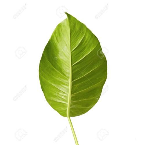 Medium Crop Of Heart Shaped Leaves