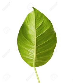 Small Of Heart Shaped Leaves