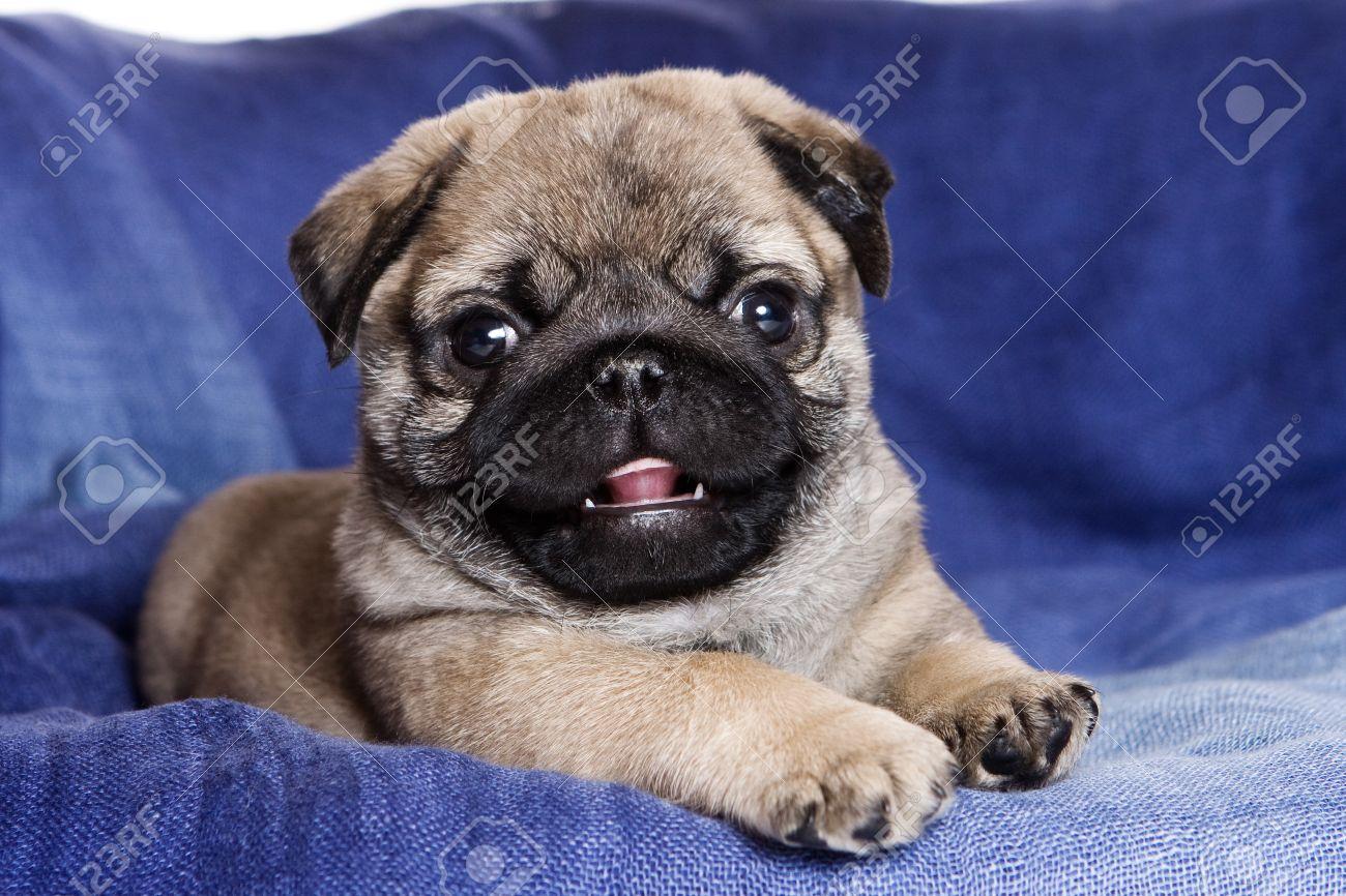 Multipurpose Royalty Free Pitbull Boxer Pug Mix Boxer Pug Mix Sale Ontario Pug Puppy On Blue Background Stock Photo Pug Puppy On Blue Background Stock bark post Boxer Pug Mix