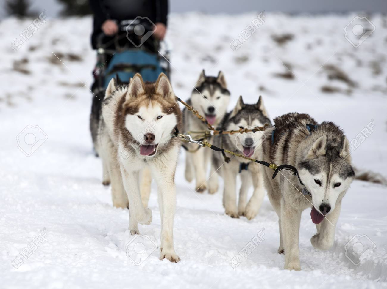 Fullsize Of Pictures Of Huskies
