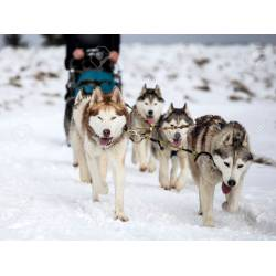 Small Crop Of Pictures Of Huskies
