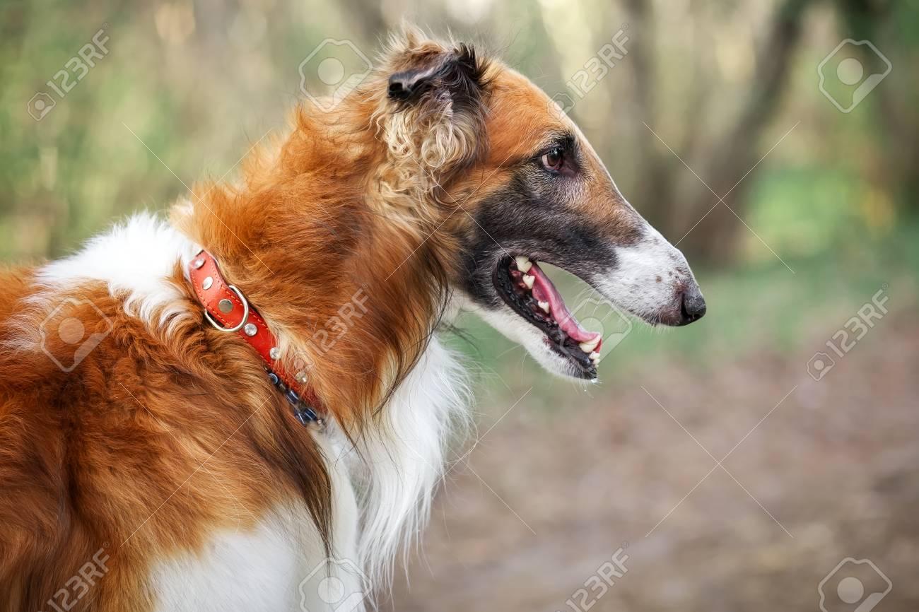Stunning 100432932 Russian Wolfhound Dog Borzoi Sighthound Russkaya Psovaya Borzaya Psovi Killer Wolves One F Fastest Dog World Kmh World Ever Fastest Dog bark post Fastest Dog In The World