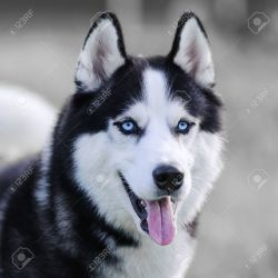 Small Of Dogs With Blue Eyes