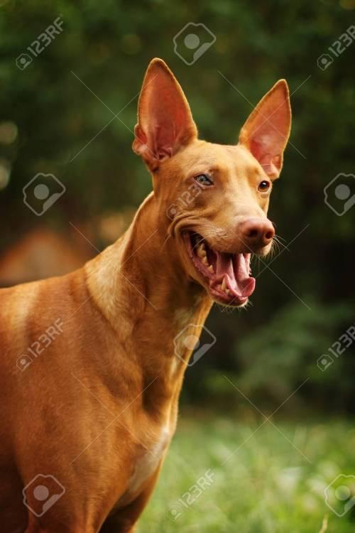 Medium Of Red Dog Breeds