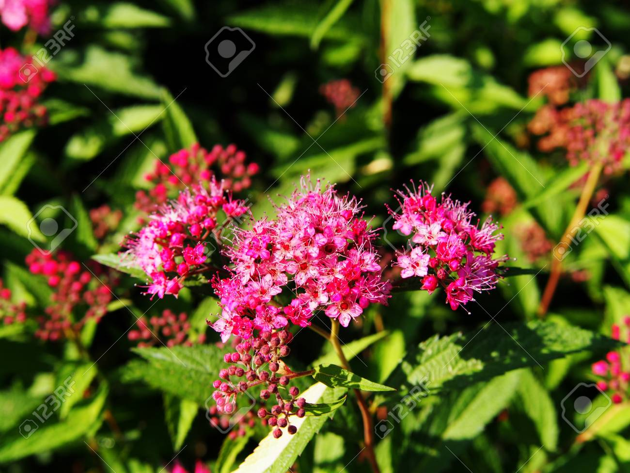 Fullsize Of Anthony Waterer Spirea