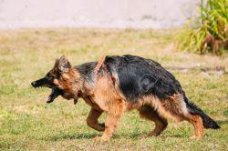 Small Of German Shepherd Long Hair