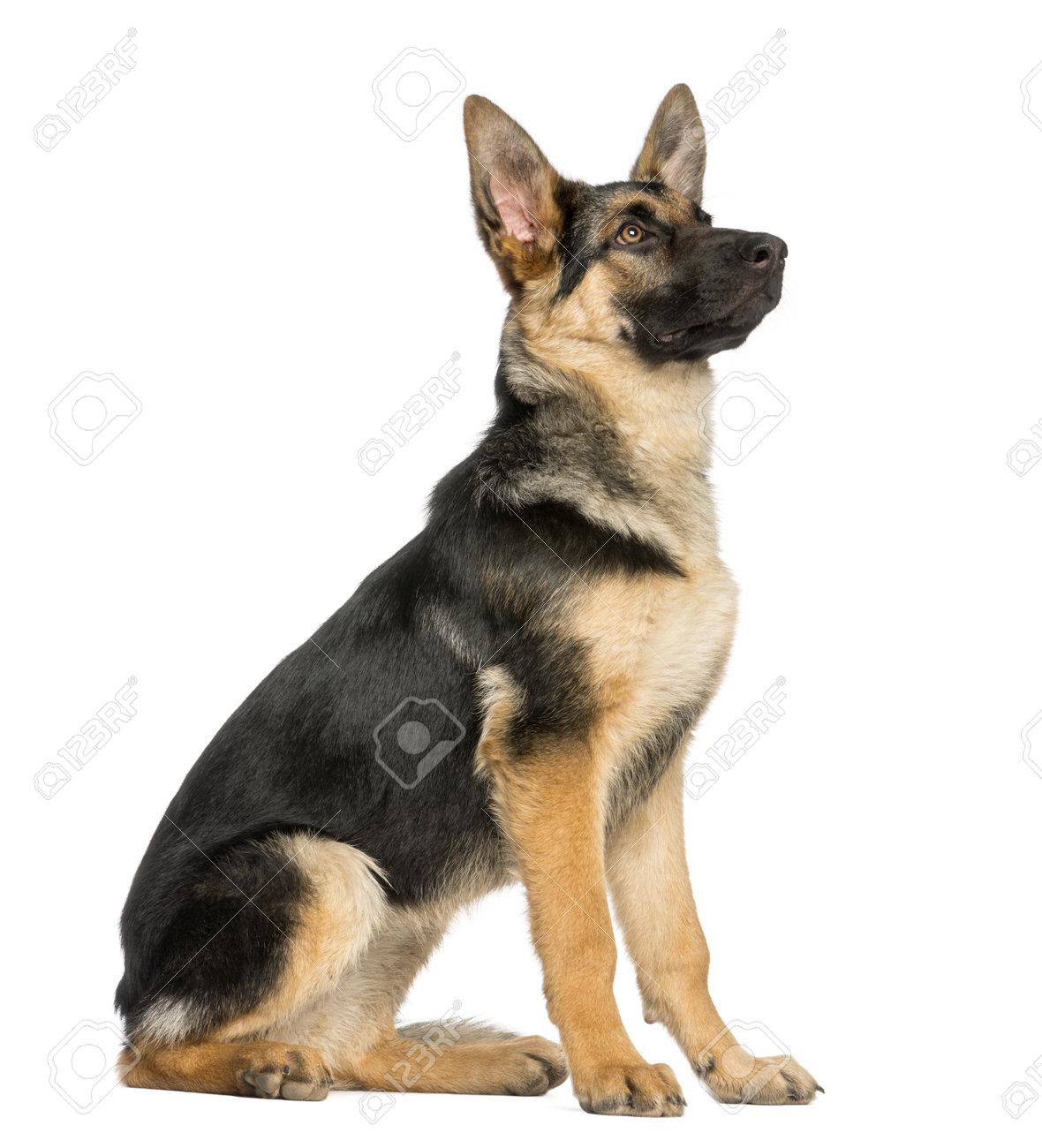 Fullsize Of German Shepherd Sitting