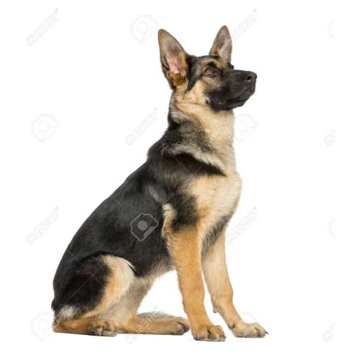 Medium Crop Of German Shepherd Sitting