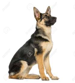 Small Of German Shepherd Sitting