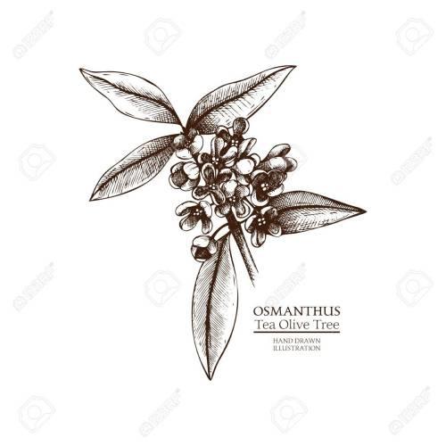 Medium Of Tea Olive Tree