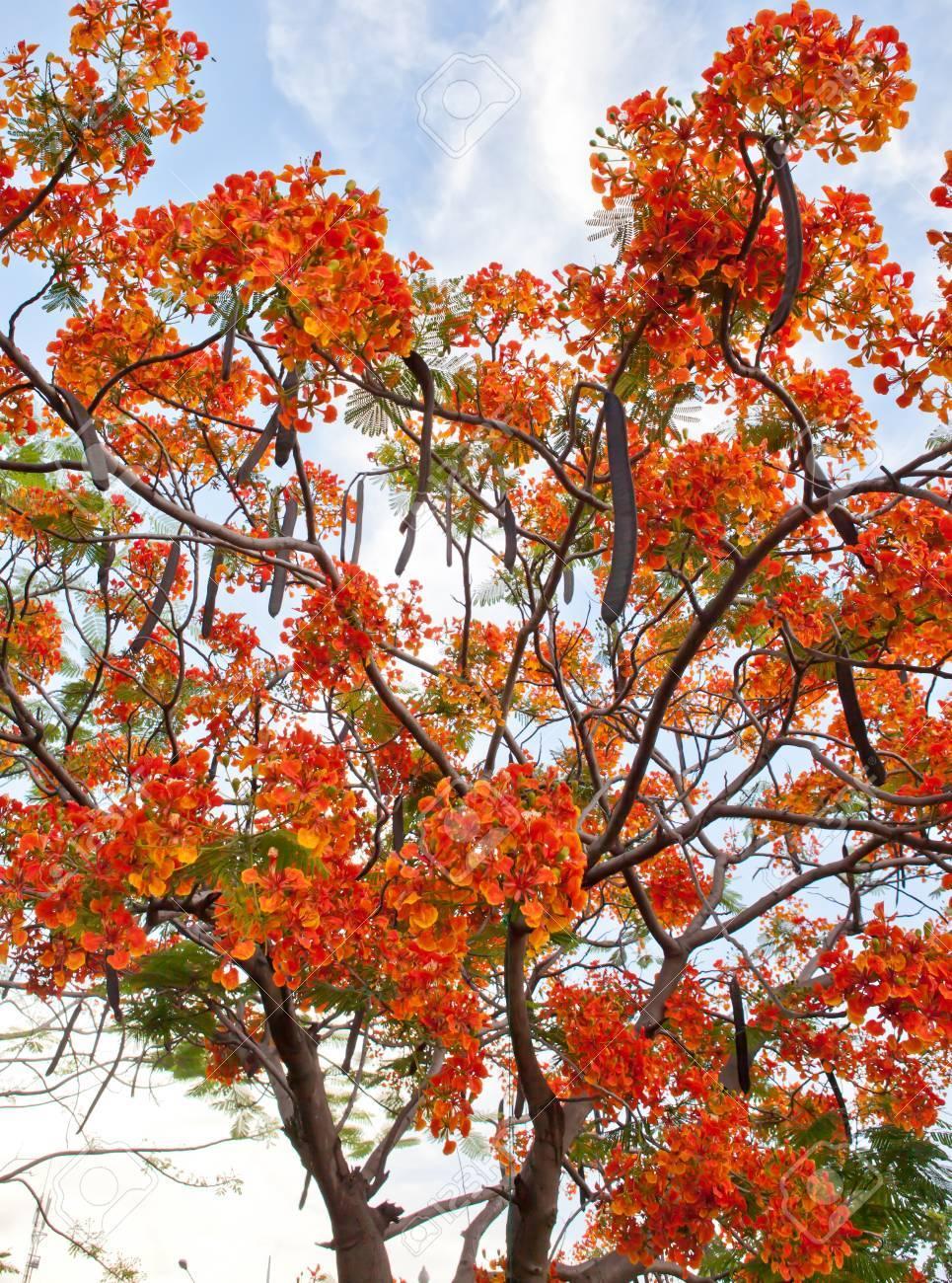 Fullsize Of Royal Poinciana Tree