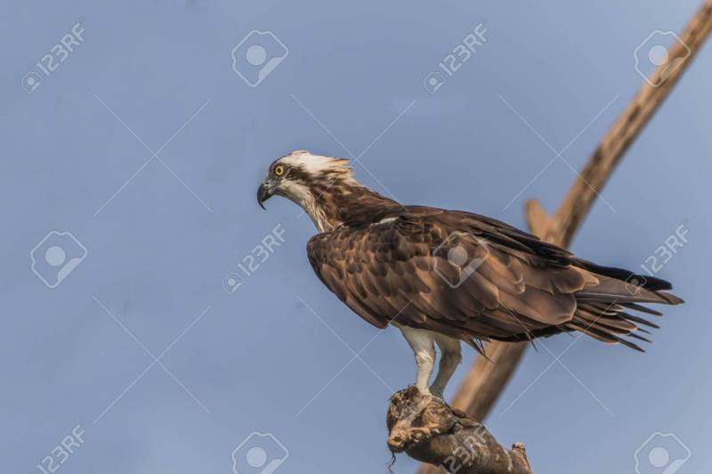 Large Of Eagle Vs Hawk