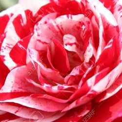 A Beautiful Big Rose Flower With Two Mixed Colours Stock Photo