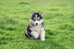 Small Of Cute Husky Puppy