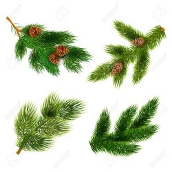 Small Of Pine Tree Branch