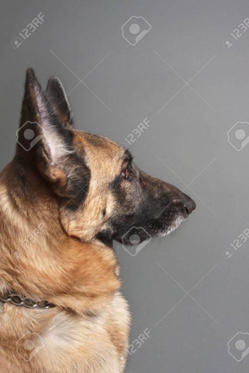 Medium Of Female German Shepherd