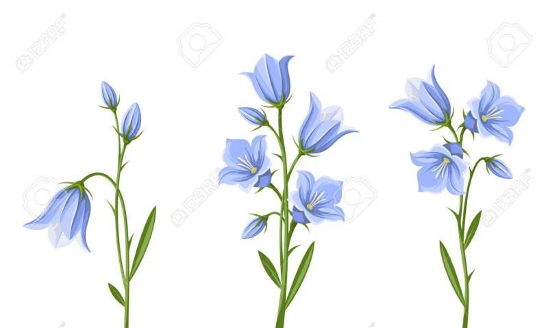 Large Of Blue Bell Flower