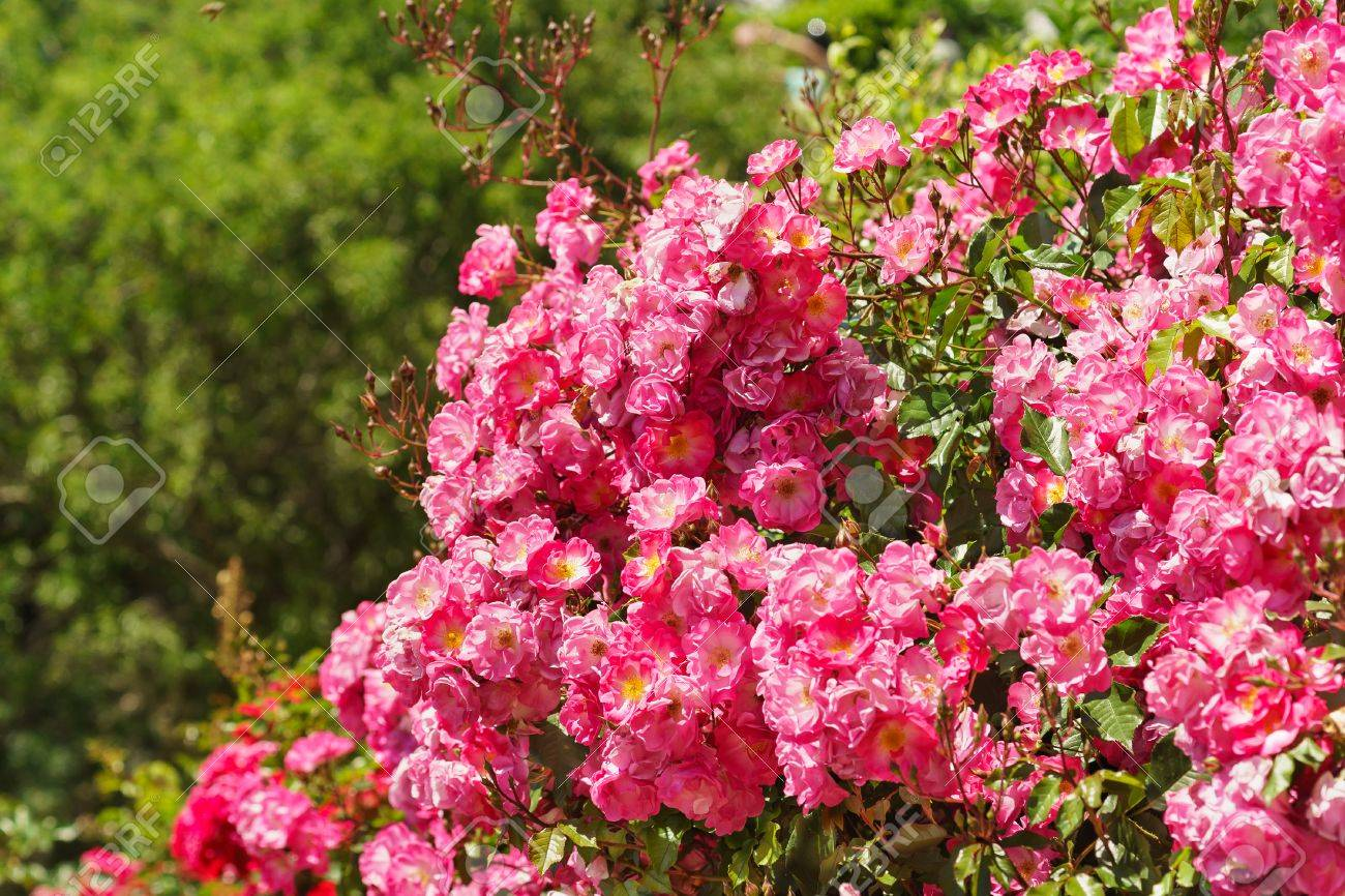 Regaling Ground Cover Roses Nz Ground Cover Roses Shade Lush Blooming Roses Groundcover Fair Stock Photo Lush Blooming Roses Groundcover Fair Stock houzz-03 Ground Cover Roses