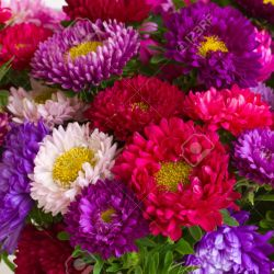 Background of Beautiful Mixed Aster Autumn Flowers Stock Photo