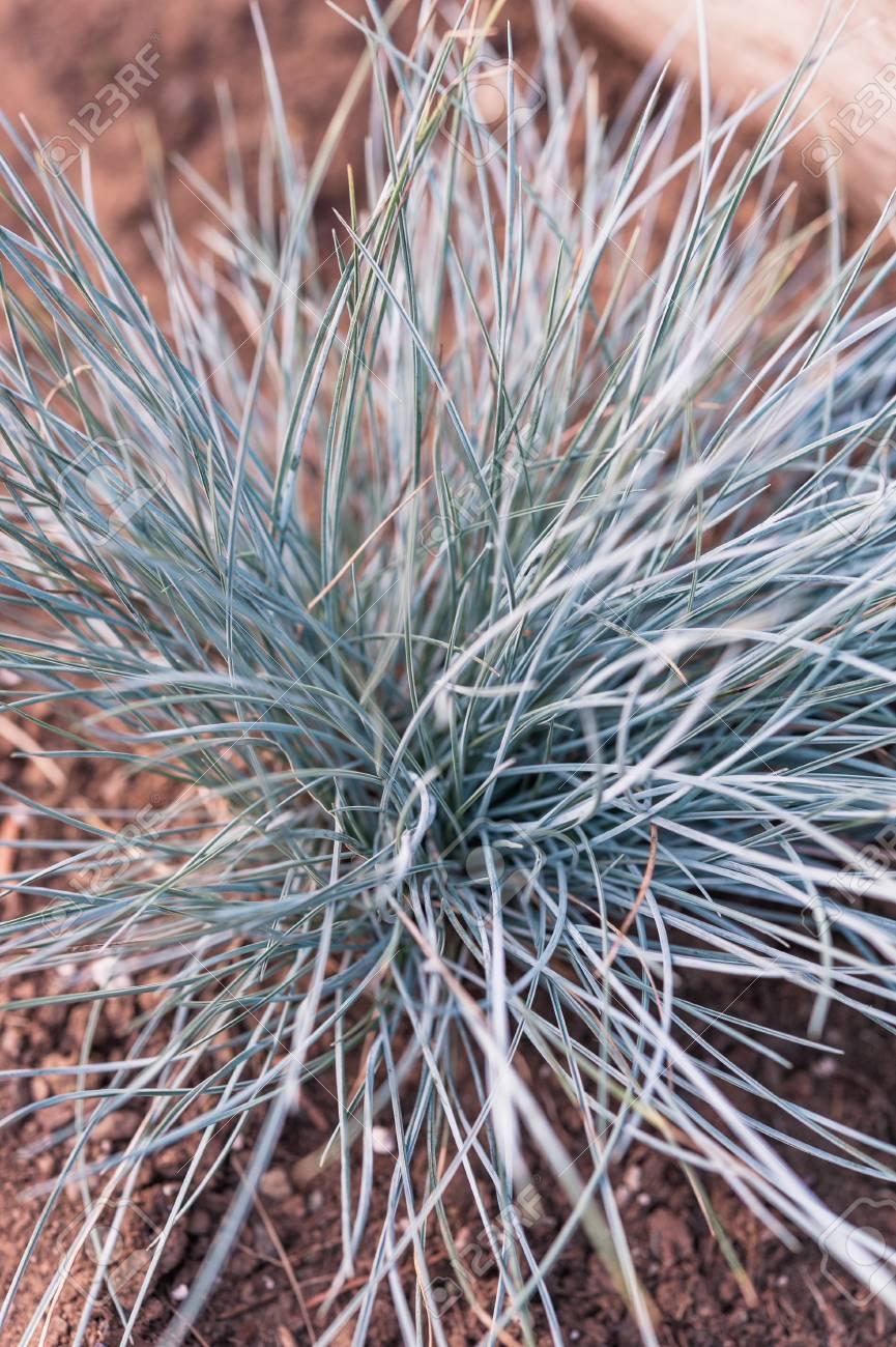 Fullsize Of Blue Fescue Grass