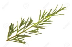 Small Of Sprig Of Rosemary