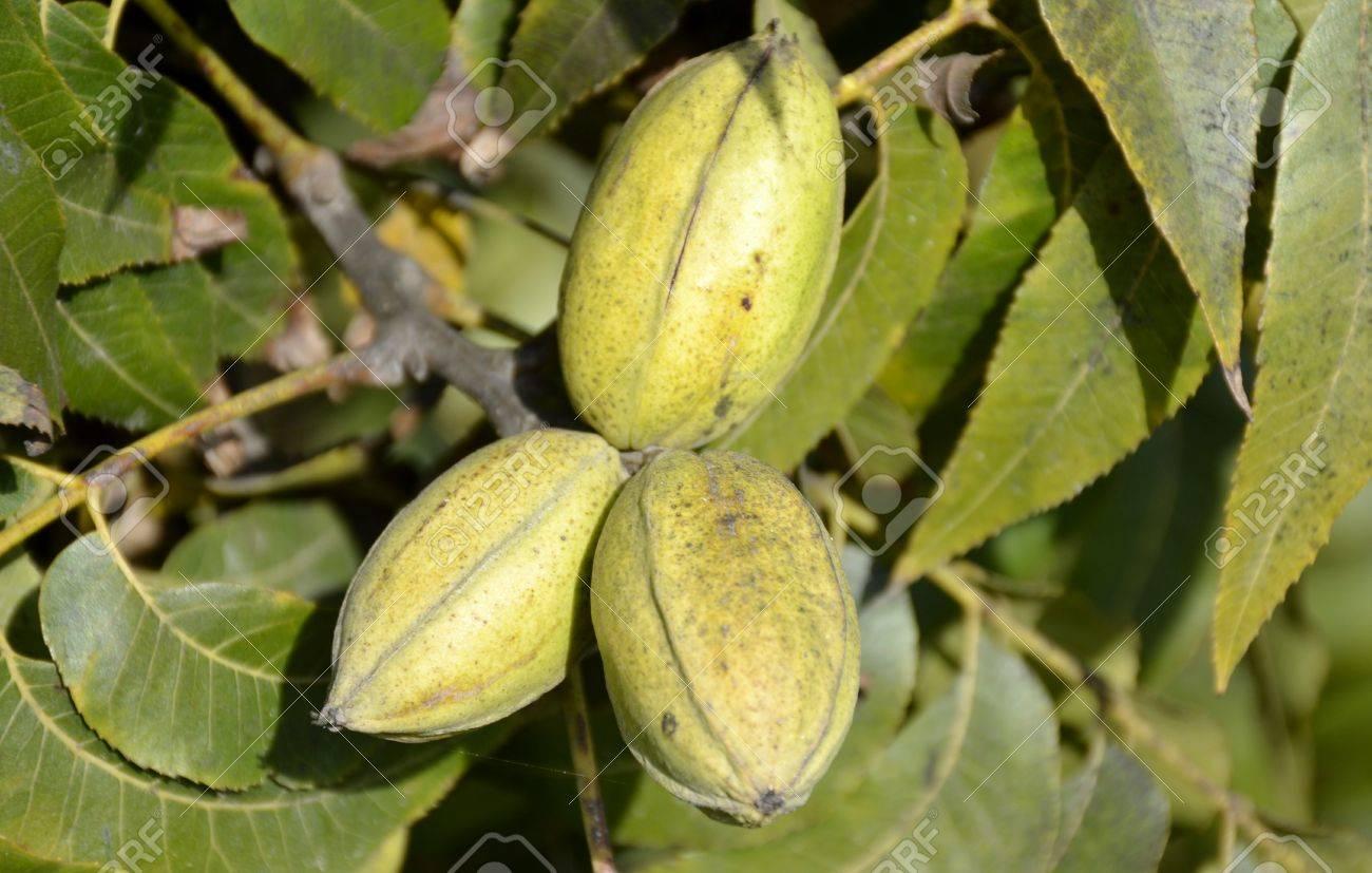 Fullsize Of Pecan Tree Leaves