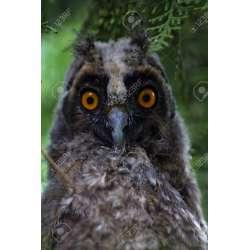 Small Crop Of Grey Owl Juniper
