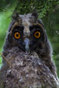 Small Of Grey Owl Juniper