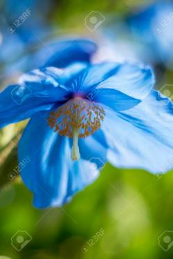 Small Of Himalayan Blue Poppy