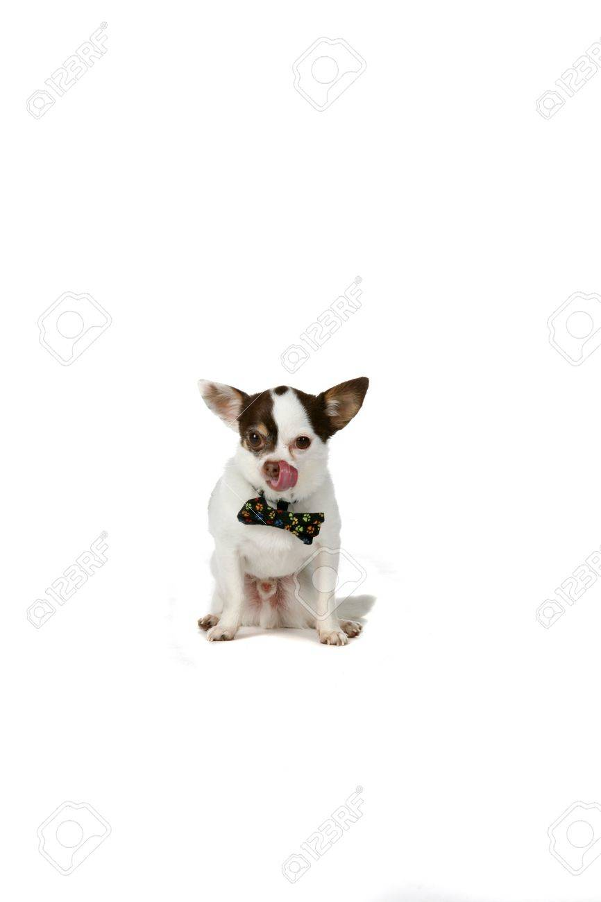 Soulful Big Pointed Ears Big Pointed Ears Small Dog A Bow Tie Stock Photo Small Dog Grey Ears A Bow Tie Stock Photo Small Dog Terrier Small Dog bark post Small White Dog