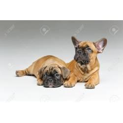 Small Crop Of Cute French Bulldog