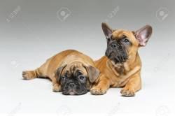 Small Of Cute French Bulldog