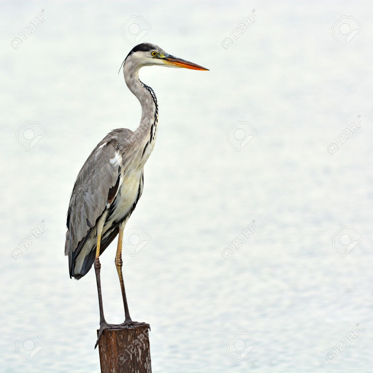 Grey Heron Bird  Ardea Cinerea  On A Log Stock Photo  Picture And     Grey Heron bird  Ardea cinerea  on a log Stock Photo   32926767